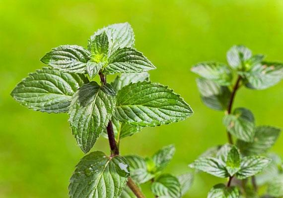 A mentalevél rágcsálása igen hasznos: nem véletlen, hogy sok rágóguminak és cukorkának ez a növény az alapja.