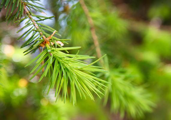 A fenyőt a váratlan öröm és siker szimbólumaként ismerik álomfejtő körökben, ugyanakkor a tűlevelű növény magasságával és zöld színével a hosszú és boldog életre utalhat.