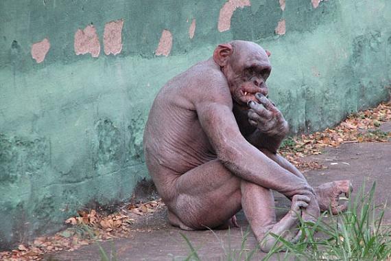 Ez a csimpánz a betegsége miatt vesztette el szőrzetét. Bundája nélkül még jobban hasonlít az emberre, nem csoda, hogy fajunk egyik legközelebbi rokonának is szokták nevezni.