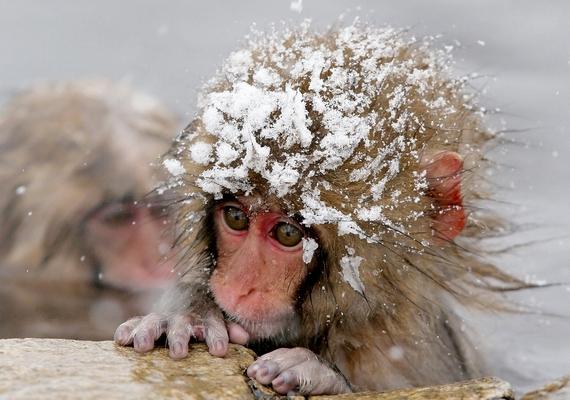 A bébi maki és a hó.Kattints a nagyobb felbontású képért! »