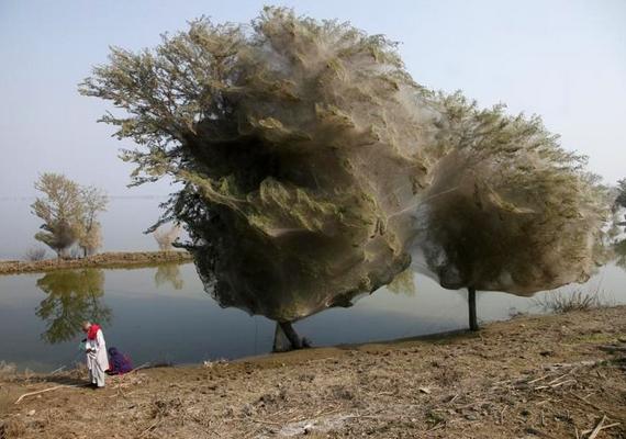 A pakisztáni falucskát, Sindhet 2010-ben elérte az áradás. Több millió pók menekült a fák tetejére az emelkedő vízszint miatt, a lombok takarásában remélve menedéket. Az évek során hatalmas hálót szőttek a fák köré, amik most éppen úgy festenek, mint a begubózott hernyók.