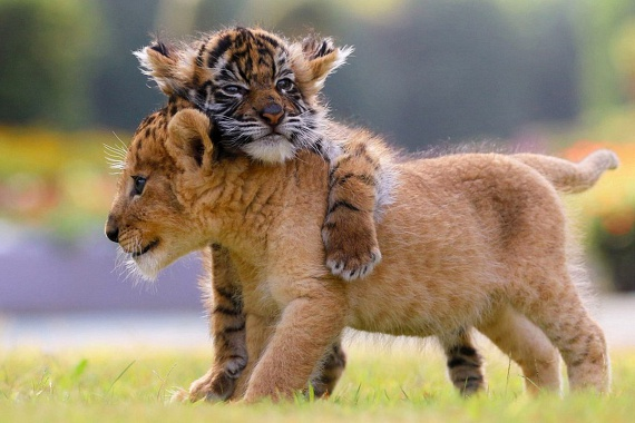 A tigriskölykök és az oroszlánkölykök úgy viselkednek egymással, mint a kiscicák, egyszerűen tündériek.
