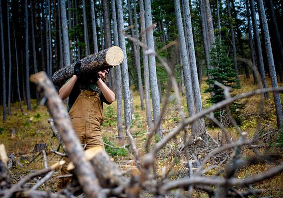 Egy amerikai felmérés szerint a legveszélyesebb szakma a favágóké, és a sérülések aránya is náluk a legnagyobb.