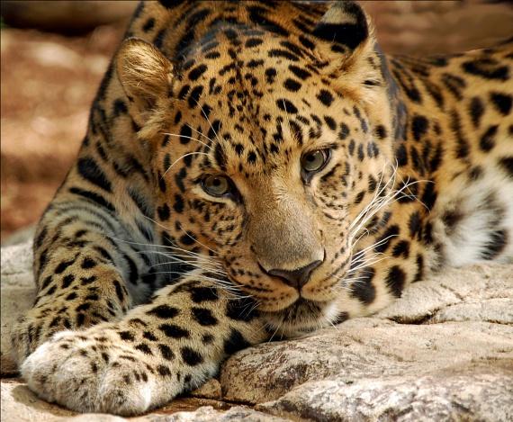 Amuri leopárd - ez a fejedelmi nagytestű macskaféle főként Kelet-Oroszországban, Kína és a Koreai-félsziget hegyvidékein fordul elő. 10-15 évig él vadonban, fogságban akár 25 évet is. A legritkább párducféle, Kínában vadon talán 35-45 egyed él még. A felnőtt állatnak gyönyörű kékeszöld szeme van. A nősténynek általában csak kettő kölyke születik.