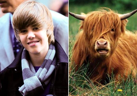 Justin Bieber stílusát még a szarvasmarhák is utánozzák.