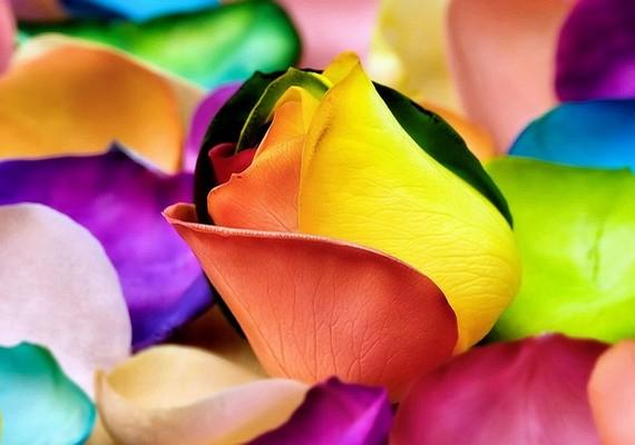 A színes szirmok és a rózsalátványa élénkíti a lelkedet.Kattints ide a nagy felbontású képért! »