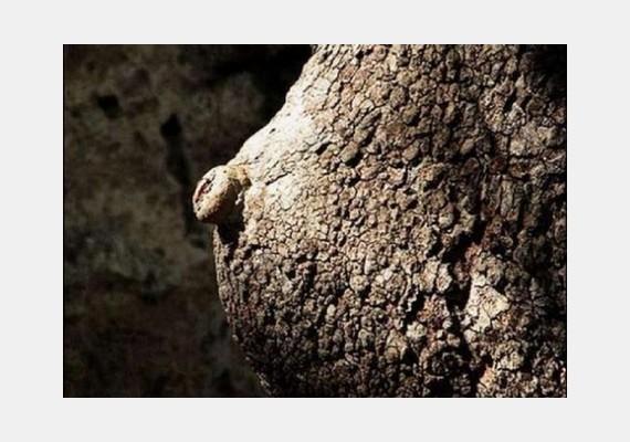 Egy másik fa ennél is kidolgozottabb mellel büszkélkedhet, még bimbója is van.