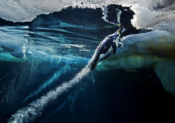 A császárpingvin nem tud repülni, úszni viszont annál inkább. Ezt örökítette megPaul Nicklen, aki munkájával el is érte a természet/sorozat kategória első helyezését.