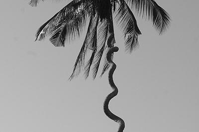 Csavaros pálma