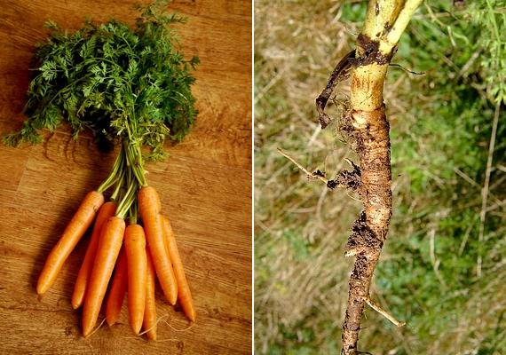 Az általunk ismert és fogyasztott sárgarépa vadon termő változata jóval kisebb, vékonyabb, és fehér színű.