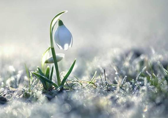 Az arborétum területén hét hóvirágfaj 24 fajtája virágzik, köztük a levantei, a kikeleti, valamint a krími vagy redőslevelű hóvirág.