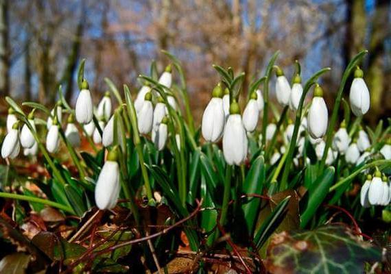 A hóvirág mellett tavasszal felfedezheted itt többek között a bogláros szellőrózsát, az ibolyát vagy a májvirágot.