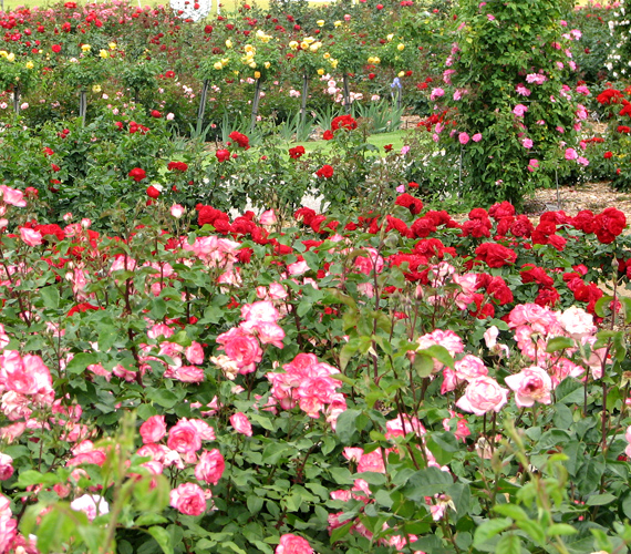 Az ausztráliai Adelaide-i Nemzetközi Rózsakert a világ egyik legnagyobb, ilyen virágoknak otthont adó kertje.