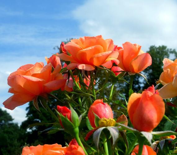 A párizsi Boulogne-i erdőben található Bagatelle-kastély rózsakertjénél nem sok romantikusabb hely létezik.