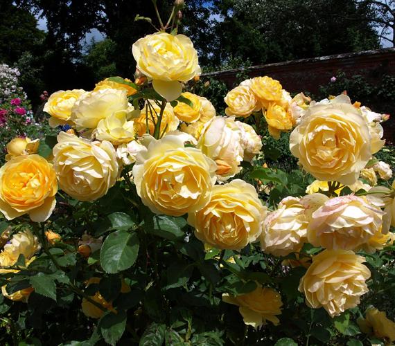 Az angliai Mottisfont-apátság rózsakertjében több mint háromszáz rózsatípust gondoznak, köztük a legidősebb fajtákat is.