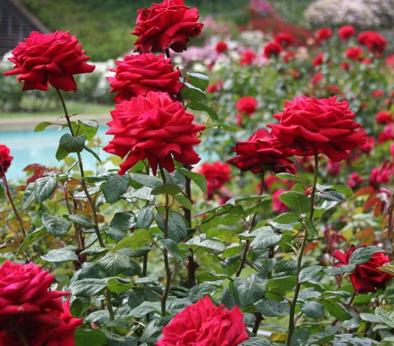 Az oaklandi rózsakert a világ egyik leghíresebbje, ahol a világ jegyespárjai előszeretettel tartanak esküvőket.