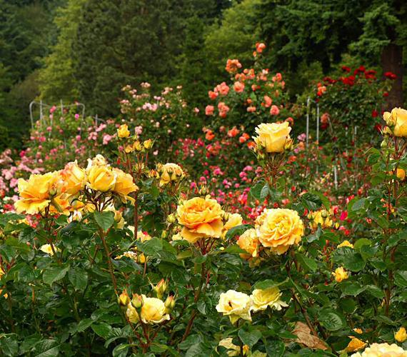 Az oregoni Portlandet nem véletlenül nevezik a rózsák városának. A helyi rózsakert illatát már messziről érezni.