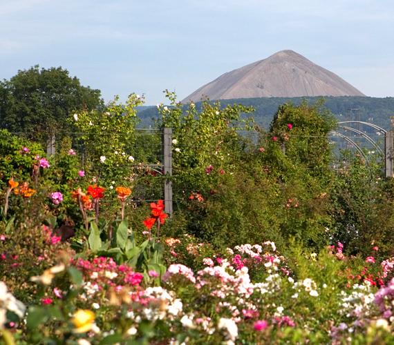 A németországi Sangerhausen rózsakertje 1903 óta kápráztatja el a helyieket és turistákat egyaránt.