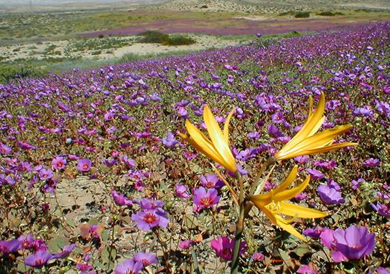 Ritka tehát errefelé a csapadék, ha viszont mégis hull, a táj egész más arcot ölt, például vadvirágok nyílnak a korábbi kietlen helyeken.