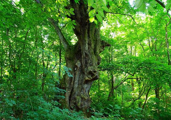 A Somogy megyei Felsőmocsolád büszkesége az a 400 éves szintén hársfa, amelyre a családi összetartozás jelképeként is tekintenek. A helyiek hagyománya, hogy legfiatalabb tagjaikat mindig bemutatják a fának. A legenda szerint egy vihar során leégett az erdő, a pusztítást pedig mindössze egy hársfa vészelte át. Magjait széthordták a hollók, és így született újjá az erdő. Az öreg hárs 2011-ben megnyerte az Év Fája címet, a következő évben pedig az Európai Év Fája versenyt is.