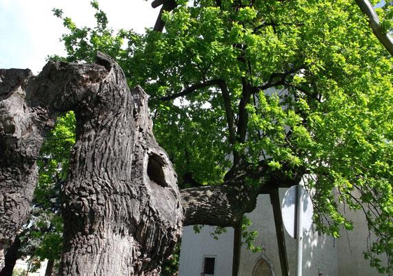 A hédervári Árpád-tölgyet Magyarország legidősebb fájaként tartják számon. Egy legenda szerint a törzsén lévő nyomokat még Árpád vezér lovának kötőféke hagyta 907-ben. A kutatók viszont ennél fiatalabbra, körülbelül 700-800 évesre becsülik. Bár a fa idővel korhadásnak indult, és négy ágából hármat is letört a szél, 2007-ben egy civil összefogásnak köszönhetően sikerült megmenteni.