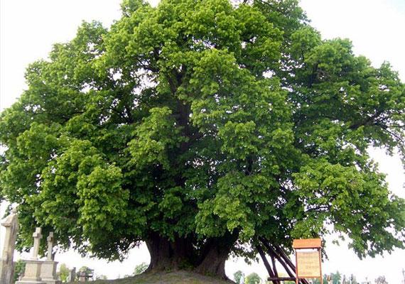 A szőkedencsi öreg hárs életkorát legalább 700 évre becsülik, de úgy tartják, hogy a fa gyökere még ennél is idősebb lehet. Hatalmas, gyönyörű lombkoronájának köszönhetően nemcsak életkorában, hanem szépségét tekintve is az elsők között van. A fa egy magaslaton áll, de a talaj nem tudott teljes mértékben megmaradni alatta. Ugyanakkor, hála erős gyökereinek, így sem engedi teljesen lekopni a dombtetőt. Néhány éve egy támfalat is építettek a hárs köré, melynek során egy Árpád-kori templom maradványait fedezték fel.