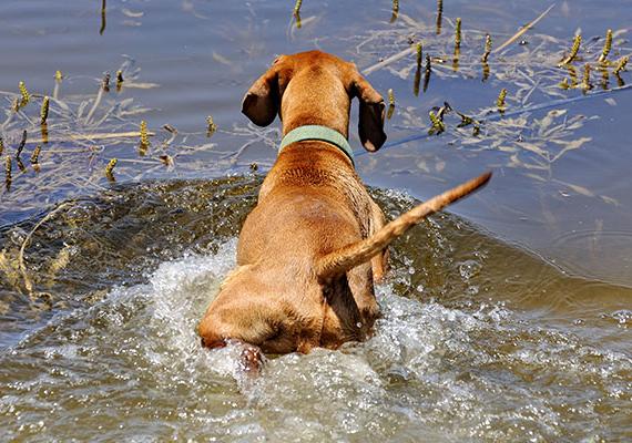 Szintén fontos tudnod, hogy kutyával fürdeni nagyon sok helyen tilos, és bírság járt érte. Vannak azonban helyek, ahol szabad, ha érdekel, melyek ezek, kattints ide!