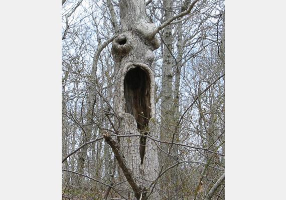 A Kanári-szigeteken sikerült ezt a fát lencsevégre kapni. Félelmetes, mennyire hasonlít a Sikoly című horrorfilm álarcos gyilkosára.