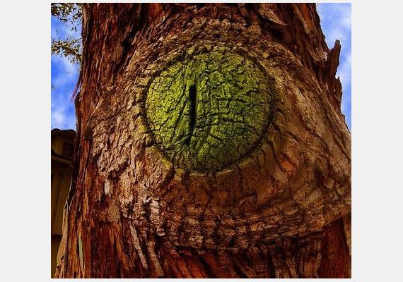 Akár egy óriásira nőtt krokodil szeme, úgy néz ki ennek a Kaliforniában található fának a törzse. Az oaklandi lakosok valószínűleg nem merészkednek éjszaka a közelébe.