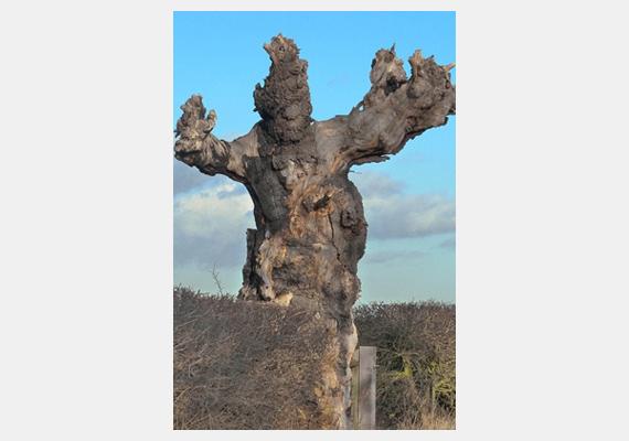 Akárcsak a Gyűrűk Urában az entek, úgy néz ki ez a trollszerű fa, mely a Boxted úton, az angliai Colchester közelében található.