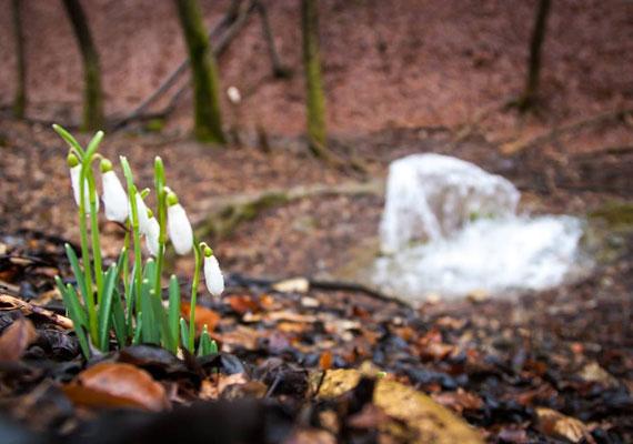 A festői Bükkben a csodaszép források mellett a 2005-ben védetté nyilvánított hóvirágokat is megcsodálhatod.