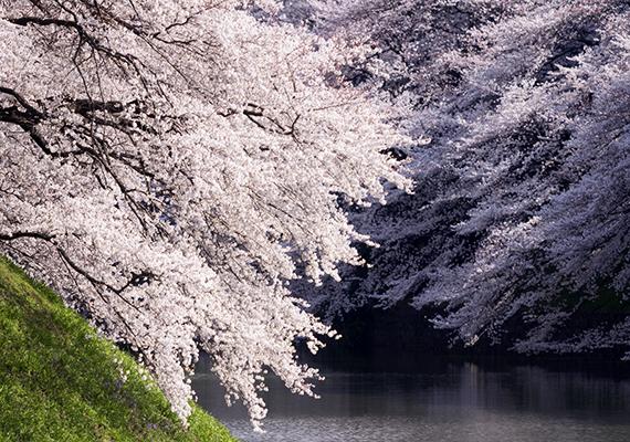 Virágözön a tokiói Chidorigafuchi parkban. Kattints ide a háttérképért!