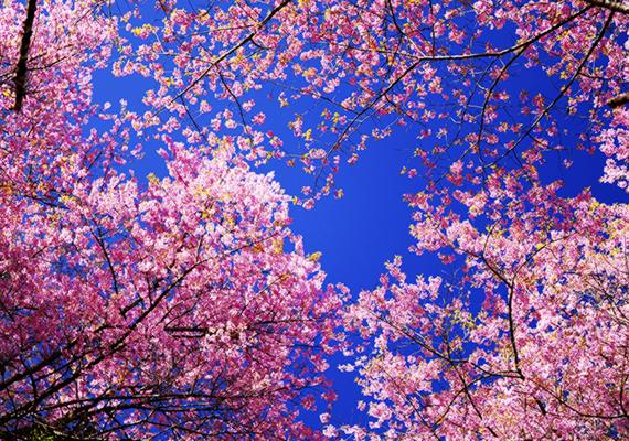 A virágok körülbelül március végétől május elejéig csodálhatók meg az ország különböző részein. Kattints ide a háttérképért!