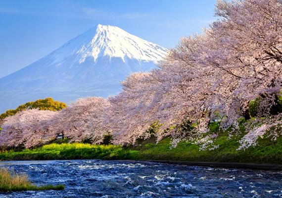 A japánul hanaminak nevezett virágnéző ünnepségeket egész Japánban megtartják, a virágzás idejétől függően néhány hét eltéréssel. A cseresznyevirágok és a Fuji együttese képeslapra kívánkozó látványt jelent. Kattints ide a háttérképért!