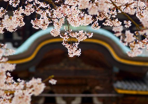 A virágszirmok az újjászületést jelképezik, törékeny mivoltuknak és rövid életüknek köszönhetően azonban egyúttal a tisztaság és egyszerűség szimbólumainak is tekintik őket. A kép a japán Nara templománál készült. Kattints ide a háttérképért!