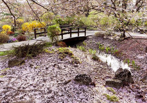 A cseresznyevirágok nagyon érzékenyek, egy adott helyen csak néhány napig lehet megtekinteni a virágzó fasorokat, utána a virágszirmok lehullnak. Kattints ide a háttérképért!