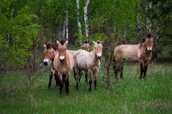 Bár az atomkatasztrófát megelőzően a Przsevalszkij-ló már szinte a kihalás szélén állt, a faj megmentése érdekében 1998-ban a kiürült területekre engedték a megmaradt példányokat. Megfigyelések szerint azóta a lovak száma folyamatosan növekszik.