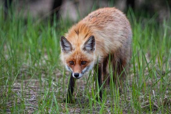 A képen egy fiatal róka figyeli élelmét Pripjaty mellett, a vasúti sínek mentén, mindezt a csernobili lezárt zónában. Jim Beasley biológus maga is megdöbbent, amikor egy öthetes felmérés során számos állatfaj jelenlétét tapasztalta az atomkatasztrófa sújtotta helyen.