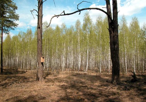 A Vörös-erdő - melynek levelei a sugárzás miatt váltak vörössé, mielőtt elpusztultak volna - tíz kilométerre található az erőműtől. Mára a fák többségét ledózerolták. Kattints ide, és nézz meg még több furcsa erdőt!