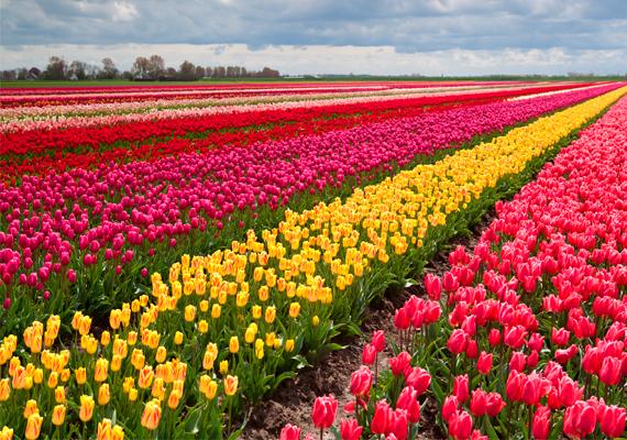 Holland tulipánmezők  Ha van ország, ahol a tulipán nemzeti szimbólumnak számít, az Hollandia. Megannyi szemet gyönyörködtető tulipánmezőt látni ott, és érdekes, hogy legtöbbjük magánkézben van.