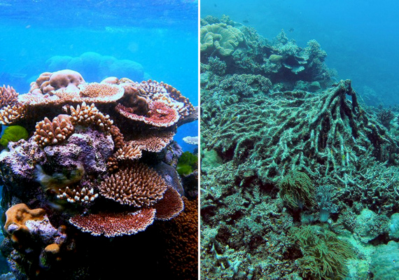 A környezetszennyezés és a klímaváltozás hatására a páratlan szépségű Nagy-korallzátony élővilága pusztulóban van. Balra színpompás korallokat láthatsz, míg jobbra már csak a szomorú végkifejletet. Kattints ide, és nézz meg néhány lenyűgöző képet a zátonyról - így még megteheted!