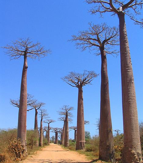 Baobob-sétány, MadagaszkárA majomkenyérfának is nevezett baobab fa Afrika és Ausztrália mellett egyedül Madagaszkáron található meg. A száz láb magasra nyúló, mókás, sokak által ufószerűnek tartott, kétezer évig is elélő fák utóbbi helyen a világ egyik legkülönlegesebb, tökéletes szimmetriájú természetes sétányát alkották meg.