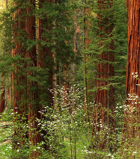 Redwood Nemzeti Park, Egyesült ÁllamokA park óriás mamutfenyői, melyek négyzetkilométerek százai mentén szegélyezik a kaliforniai partvidéket, közel négyszáz láb magasak, és több mint kétezer évesek. A fák között található a világ leghatalmasabbja is a maga 112 méteres magasságával és 13,5 méter átmérőjével.Kapcsolódó cikk:A 4 legnépszerűbb úti cél »