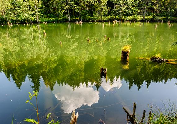 Jellegzetes látványt nyújtanak a tóból kiálló csonkok, amelyek az egykor itt található fenyőerdő maradványai.