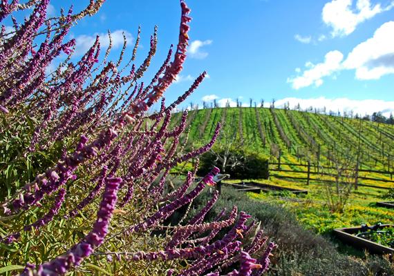A kaliforniai Sonoma az Amerikai Egyesült Államok egyik leghíresebb és legszebb borvidéke.