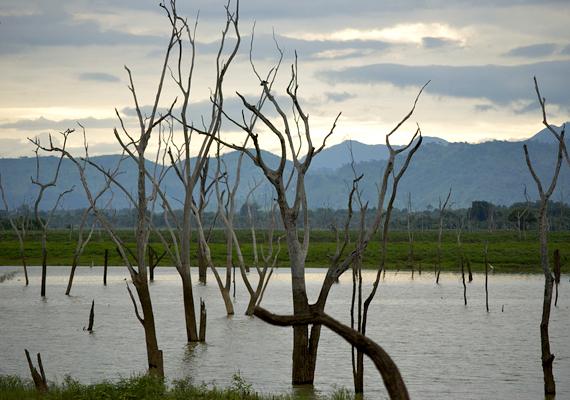A Srí Lanka-i Udawalawe víztározó szintén megőrizte az egykor itt magasodó fák maradványait.