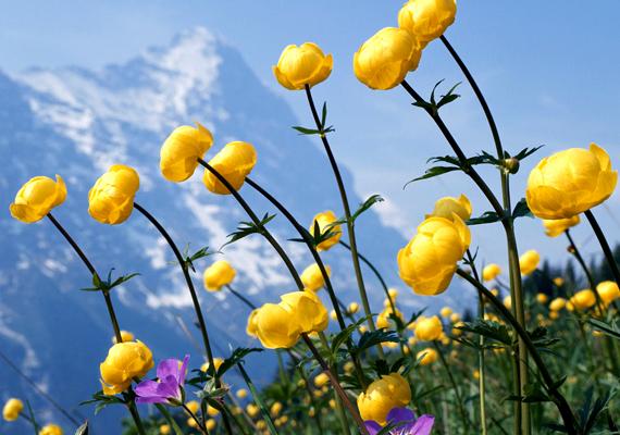 Az Alpok gyönyörű, amikor virágzanak a tavaszi mezők. A háttérképért kattints ide!