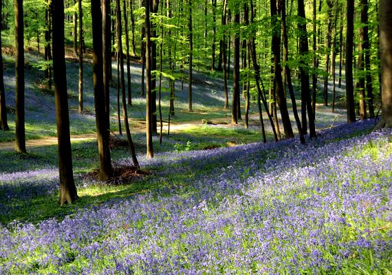 A belgiumi Halle-erdőt lila virágai miatt tündérerdőnek is nevezik. A háttérképért kattints ide!