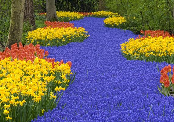 A hollandiai Keukenhof, a világ legnagyobb virágoskertje tavasszal a tulipánok tengerévé változik. A háttérképért kattints ide!