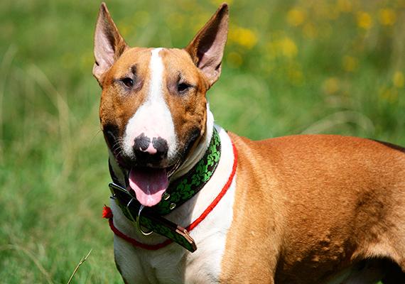 Horvátországban a házi kedvencek beviteléhez az állatnak rendelkeznie kell az uniós előírások szerinti útlevéllel, oltási könyvvel és mikrochippel, fontos azonban tudni, hogy a veszélyes kutyafajtákról szóló szabályzat szerint a terrier fajtájú bull típusú kutyákat és ezek keverékeit tilos bevinni vagy átvinni az országon. Kivételnek számít, ha ellenőrzött tenyészetből származik a kutya, ehhez azonban ennek hivatalos igazolása szükséges.
